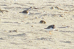 2 more Ringed Plover