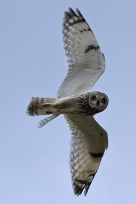Short-eared Owl by Nic                                       Davies