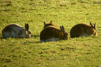 4 Winter Hares