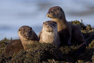 Mother Otter with cubs