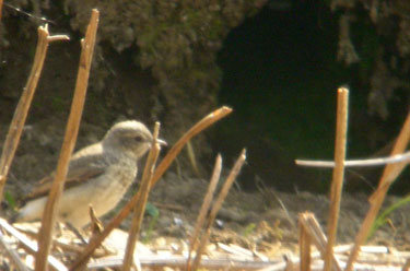 Baby Wheatear next to his nest hole in                             the ground