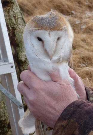 Barn Owl                                     gets a health check