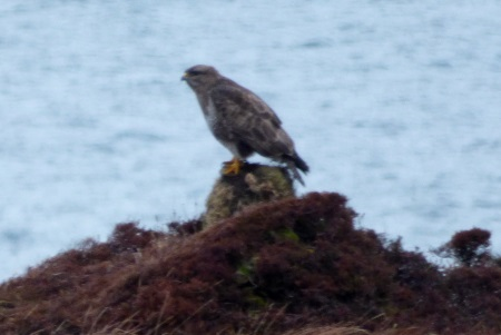 Buzzard on a stone