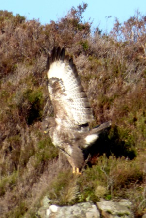 Buzzard with wings                                               up