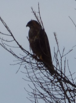 Buzzard in a tree