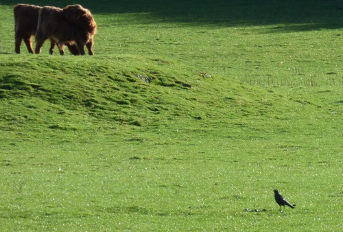 Carrion Crow and cattle