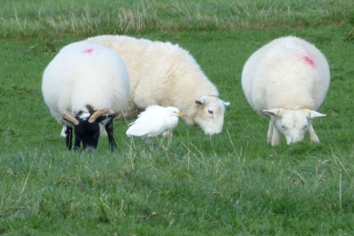 Cattle Egret and sheep