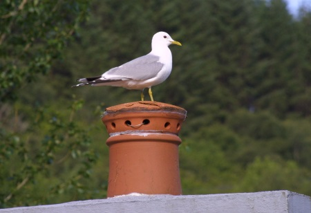 Common Gull on the chimney
