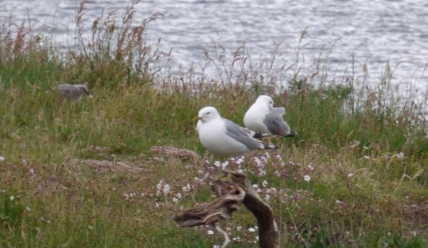 Common Gulls and chick