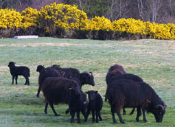 Hebridean Ewes and lambs