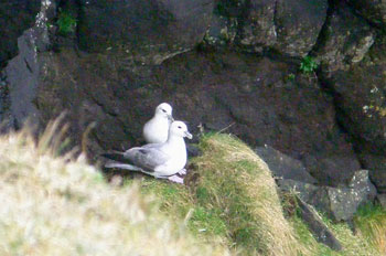 Fulmars on cliff ledge