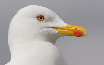 Great black-backed Gull taken                                       by David Mitchell