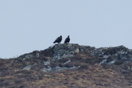Golden Eagle pair at top of hill