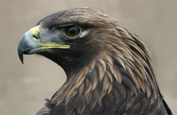 Golden eagle by Iain Erskine