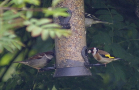 Goldfinch and House Sparrow