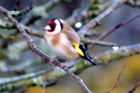 Goldfinch in the garden