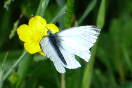 Green-viened White Butterfly