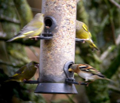 Greenfinch's and Brambling