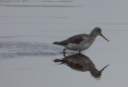 Greenshank with reflection