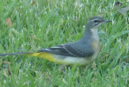 Grey Wagtail juv in                                               garden
