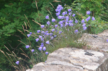 Harebells on the wall