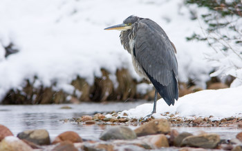 Heron in the snow taken by                                       David Mitchell