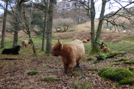 Highland Cattle and                                                 sheep in woodland