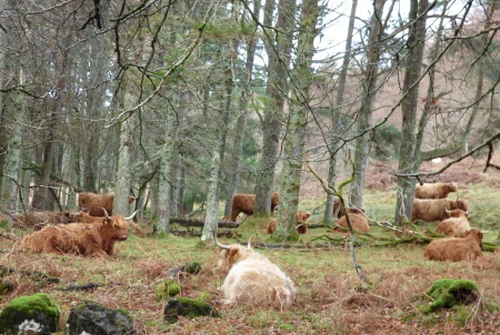 Highland Cattle in                                                 woodland