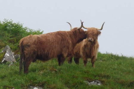 Highland cows on the                                               hillside