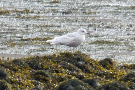 Iceland Gull 2nd                                                           winter