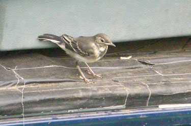 Juvinile Pied Wagtail in our van