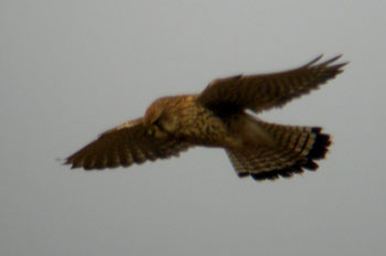 Kestrel by Arthur