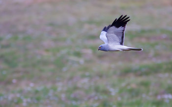 Hen Harrier taken by David                                       Mitchell