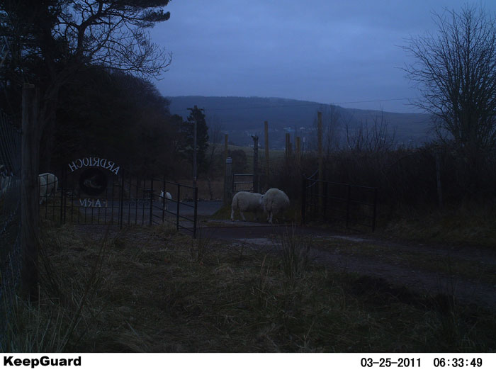 Night cam                             sheep