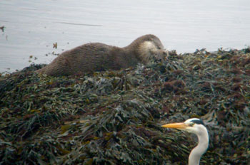 Otter and envious Grey Heron