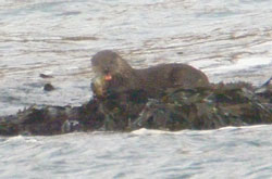 Otter eating fish                                               supper