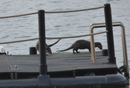 Otters on the                                     pontoon