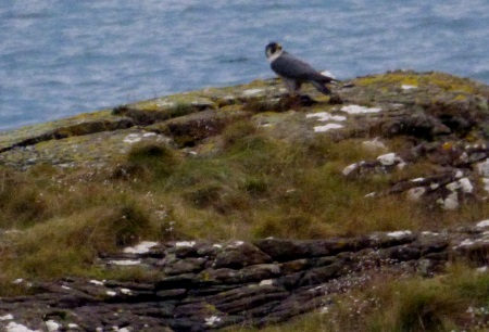 Peregrine on rock