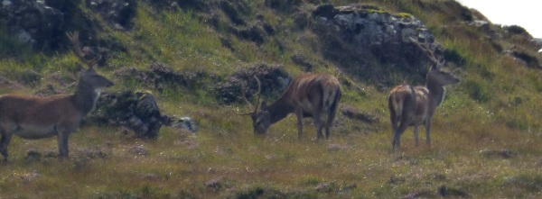 Red Deer stags on                                             the hill