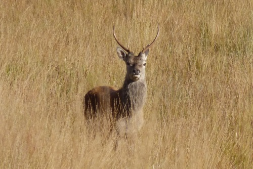 Red Deer young stag