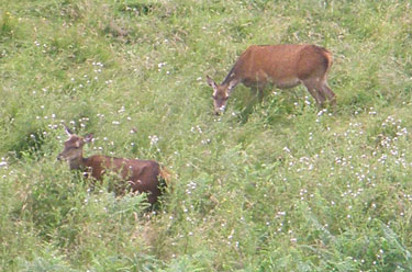 Red Deer in the long grass