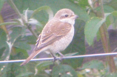 Red-backed Shrike on wire