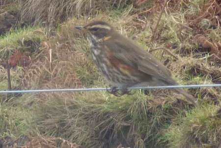 Redwing on the fence