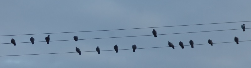 Rock Doves on wire