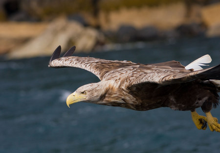 White-tailed Eagle taken by                                       David Mitchell