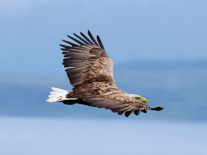Sea Eagle by kind                                       permission of Iain Erskine