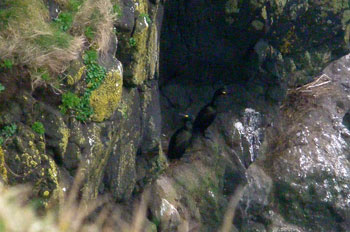 Shags on cliff ledge