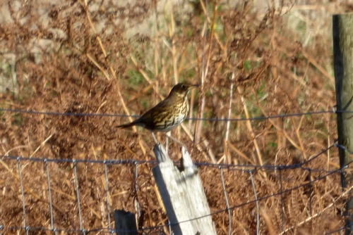 Song Thrush on fence