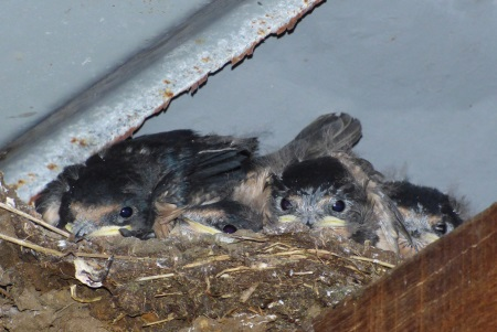Swallow baby's