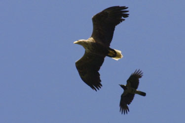WT Eagle                             chased by hooded crow